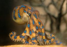 Awesome picture of Blue-Ringed Octopus - meowlogy Kraken Octopus, Octopus Squid, Octopus Art, Baby Octopus, Octopus Photography, Octopus Photos, Vida Animal, Octopus Tattoos, Sea Slug