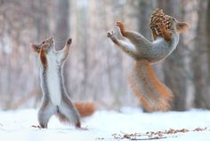 Russian photographer Vadim Trunov recently captured a series of photographs showing wild squirrels doing human things. In the snow covered forests outside