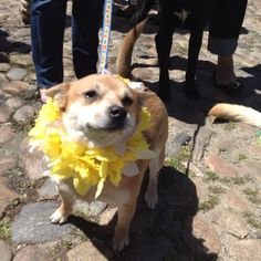 Nantucket Daffodil Day doggie parade