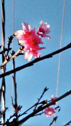 Nossa cerejeira floriu *-*