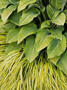Create stunning textural contrast in a shade garden with bold flat hosta leaves and spiky chartreuse Hakonechloa grass. They last late spring through fall and require little maintenance.