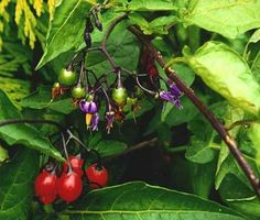 Nightshade plant (includes woody, black or common types) | British Columbia Drug and Poison Information Centre (BC DPIC)