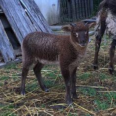 Dragonwool Hershey Bar ram lamb #shetland #sheeplife #sheep #sheepfarm Shetland Sheep