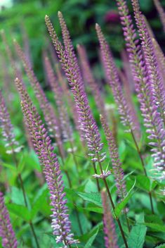 Lilac, mauve and palest pink cultivars will add subtlety to a border–or indeed to a prairie. Piet Oudolf, who was a nurseryman for many years, has introduced a few of his own strains, including the white 'Spring Dew' and Veronicastrum 'Adoration' (shown)