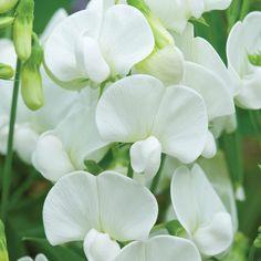 Lathyrus latifolius 'White' - Perennial Sweet Pea ~ blooms from June to September