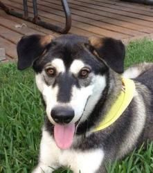 Chubs is an adoptable Siberian Husky Dog in Plano, TX.   Chubs was saved when his mother was picked up off the side of the road.  Mom was pregnant and her and puppies were all saved.  Chubs loves othe...