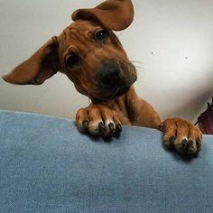 Hello there, whatcha doin? #cute #puppy #chole #ridgeback #ridgebacklove #hello #best