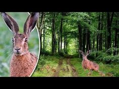 The bizarre mystery of the 'giant deer sized king hare of Dorset'