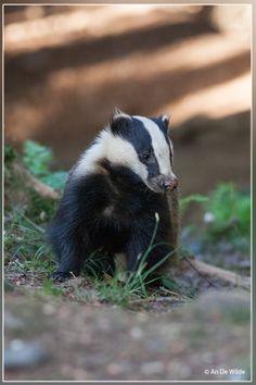 Photograph Badger -Das - Meles meles by An De Wilde on 500px