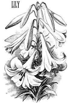 40 Easy Flower Pencil Drawings For Inspiration Lilly Flower Drawing, Floral Drawing, Flower Art, Vintage Botanical Prints, Botanical Drawings, Amazing Drawings, Easy Drawings, Pencil Drawings Of Flowers, Colouring Pages