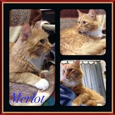 Meet Merlot (DCAS), a Petfinder adoptable Domestic Long Hair - orange and white Cat | Clinton, IL | **DEWITT COUNTY ANIMAL SHELTER**5/19/15 MERLOT is around a year old, neutered, up to date on shots...
