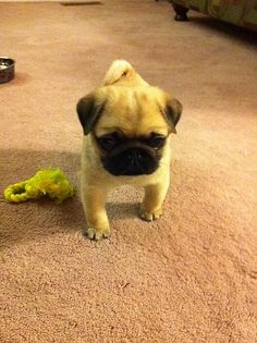 His name is pug foo