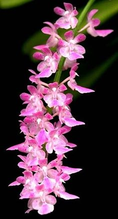 orkide: Aerides fieldingii