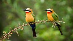 Bee-eaters, photo by Leendert3,Flickr