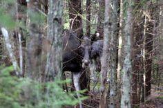 Metsatukas sügisseent pildistama jäädes ehmatas mind üles põõsa tagant kostuv tugev ragin. Pilku tõstes selgus, et see oli põder kes oli la...