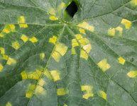 Prevence a léčba plísně okurkové: Jak nepřijít o úrodu okurek? Plant Leaves, Hair Beauty, Gardening, Plants, Lawn And Garden, Plant, Planets, Cute Hair