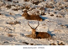 red-deer-stags-in-the-snow-in-the-highlands-of-scotland-EF0G01.jpg (1300×953)