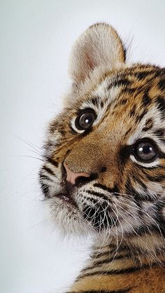 Funny Wildlife — tiger_baby_face_cute_2722_640x1136 by vadaka1986...