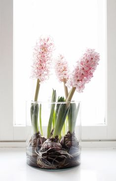 hyacinth forced bulb, no dirt, glass container