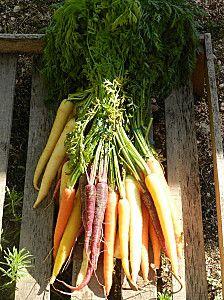 fresh carrots ; )