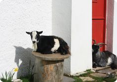 I love how comfortable this goat is!