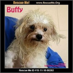Buffy (female)  Maltese Mix  Age: Young Adult  Compatibility:Good with Most Dogs, Good with Kids and Adults Personality:Average Energy, Average Temperament Health:Spayed, Vaccinations Current   Adoption Fee: $110Animal Location:  Santa Maria Animal Shelter 548 W. Foster Road Santa Barbara County Santa Maria, CA 93455 MAP IT!  Contact: 805.934.6119