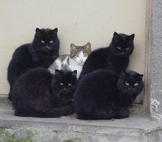 4 black cats are bodyguard.