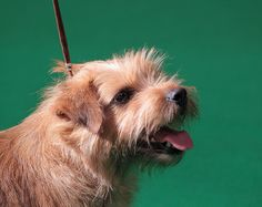 norfolk terrier, i want one!