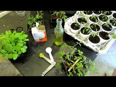 ▶ 60 Seconds or Sow: How to Use Baking Soda to Fight Powdery Mildew on squash, cucumbers & other vine plants - The Rusted Garden 2013 - YouTube