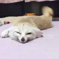 Fennec foxes are just too cute - Tiere - animals Funny Animal Videos, Cute Funny Animals, Funny Animal Pictures, Cute Baby Animals, Funny Cute, Animals And Pets, Funny Foxes, Cute Fox, Cute Creatures