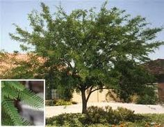 Chilean mesquite: This tree is thornless, grows very quickly, uses little water, gets very wide and is extremely hearty. It thrives with full or reflected sun.