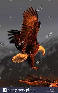 Bald Eagle Feather, Eagle Feathers, Flight Wings, Bird Wings, Alaska, Native American, Stock Photos, Illustration, Animals