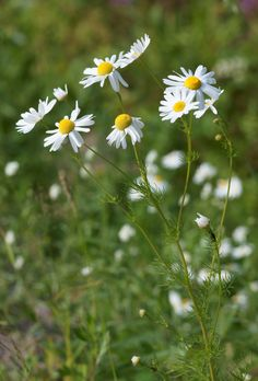Chamomile comes from the Greek chamos, or ground, for its low growing habit, and melos, or apple, for the sweet apple-like scent of its blossoms. Though they share some therapeutic properties, German,Roman, Moroccan, and Cape chamomile oil are all different species. Get Cape Chamomile essential oil here: http://www.floracopeia.com/Store/Essential-Oils/Cape-Chamomile.html #chamomile #essentialoil #essentialoils #aromatherapy