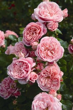 """:""""BAILANDO(Rosen Tantau A bush rose with warm salmon-pink, pompon-shaped, very full flowers displayed in large clusters. Its medium green, glossy foliage has a good disease resistance. Love Rose, Pretty Flowers, Beautiful Roses, Beautiful Gardens, Pink Roses, Pink Flowers, David Austin Rosen, Rosen Beet, Ronsard Rose"""