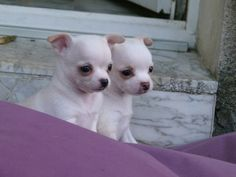 Chihuahuas..I CAN'T WAIT TO GET MY VERY OWN