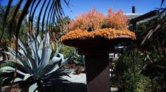 Photo and story: http://www.latimes.com/home/la-lh-jay-griffith-landscape-design-20130507-photogallery.html Jay Griffith Landscape: Succulent fountain at Jay Griffith's Venice studio. The pedestal and saucer are a dramatic focal element, planted with red pencil tree (a cultivar of Euphorbia tirucalli called Sticks on Fire) and cascading clumps of copper-tone stonecrop (Sedum nussbaumerianum). #succulents_orange #SerraGardens_euphorbia #SerraGardens_sedum