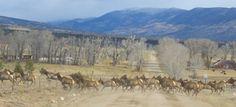 Elk Herd in Buena Vista, Colorado. http://coloradoguy.com/elk/buena-vista-colorado.htm