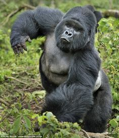 gorillas | Gorillas in a tryst...or how one chest thumping ape wooed his ...