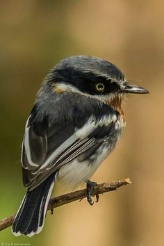 Chinspot Batis, Africa  -- Batis is a genus of passerine birds in the wattle-eye family. Its species are resident in Africa south of the Sahara. They were previously classed as a subfamily of the Old World flycatcher family, Muscicapidae