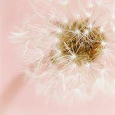 Dandelion photo, soft pastel pale pink white 8x8 - Wishes Do Come True