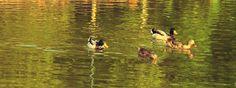 Dois casais de patos