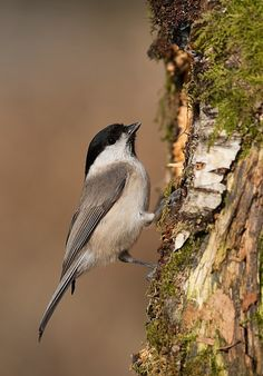 Marsh Tit (Poecile palustris) Temperate Europe and Northern Asia Marsh Tit, Nuthatches, Wrens, Chickadees, Birdwatching, Bird Species, Creepers, Habitats, Norway