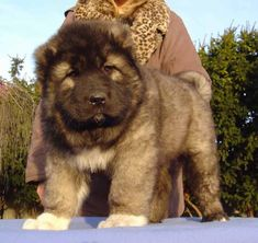30+ Caucasian    Mountain Dogs With Pictures. Do You Make Them Pets