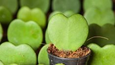 10 szobanövény, amely még a sötét sarokban is jól elvan | Hobbikert Magazin House Plants, Valentin Nap, Fruit, The Fruit, Houseplants