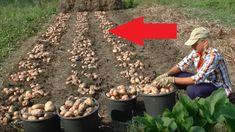 3-násobné výnosy a žiadne okopávanie: Záhradkár ukázal najjednoduchšiu metódu, ako na jar vysadiť zemiaky – výsledky vás ohromia!