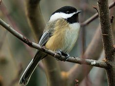 Chickadee - These little guys prefer to eat small seeds off the ground, and appreciate cover trees/bushes and low branches to stand on.