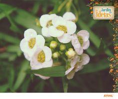 A flor-de-mel é delicada e orna bem com diversos tipos de flores maiores.