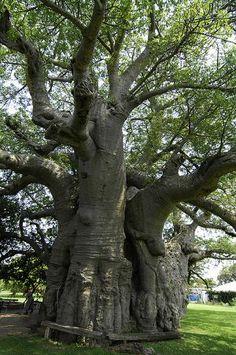 Sunland Baobab, S Africa years old) Fruit Bearing Trees, Weird Trees, African Tree, Tree Id, Baobab Tree, Blooming Trees, Giant Tree, Old Trees, Tree Forest