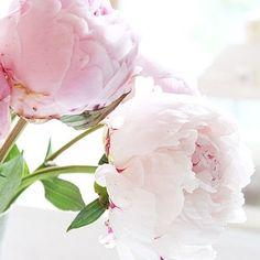 look at them! I love them. I love. love love. pink peonies. <3 -w