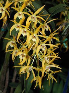 GNYOS - Dendrobium Star of Riverdene